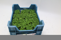 Koppert Rucola Cress®