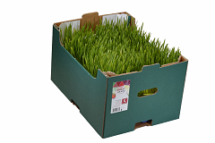 Koppert Wheat Grass