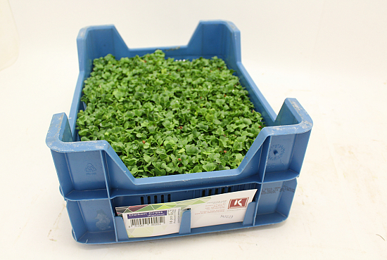 Koppert Daikon Cress®