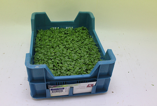 Koppert Shiso® Green